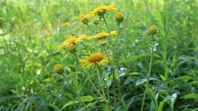 Guling blommar i natur lager videofilmer