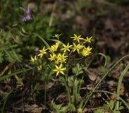 Guling blommar i skogen Royaltyfri Foto