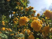 Guling blommar i solljuset Arkivfoto