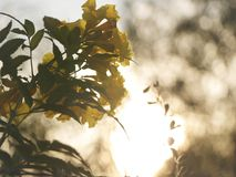 Guling blommar i solnedgången - Bokeh bakgrund arkivfoton
