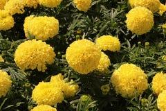 Guling blommar i sommar Royaltyfria Bilder