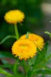 Guling blommar i trädgård Royaltyfria Foton