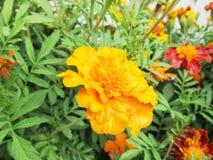 Guling blommar i trädgården Fotografering för Bildbyråer