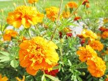 Guling blommar i trädgården Royaltyfria Bilder