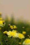 Guling blommar i trädgården Arkivbilder