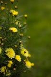 Guling blommar i trädgården Arkivfoto