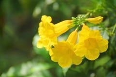 Guling blommar i trädgården Royaltyfri Foto