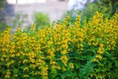 Guling blommar i trädgården i borggården fotografering för bildbyråer