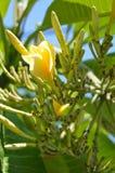 Guling blommar i Ubud royaltyfri foto