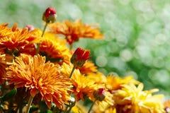 Guling blommar krysantemum som blommar på blomsterrabatten i pet Royaltyfria Bilder