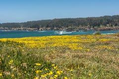 Guling blommar längs kusten, Mendocino, Kalifornien Royaltyfri Foto