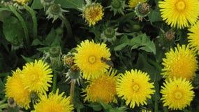 Guling blommar med bin Arkivfoto