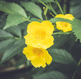 Guling blommar med daggdroppar Royaltyfria Bilder