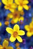 Guling blommar med en blå bakgrund Arkivfoto