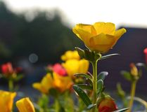 Guling blommar med myran på sidan royaltyfri bild