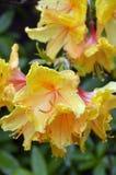 Guling blommar med röda brytningar Royaltyfri Fotografi