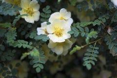 Guling blommar med regndroppar Fotografering för Bildbyråer