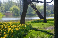 Guling blommar nära en sjö Arkivbilder