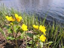 Guling blommar nära sjön, Litauen Arkivfoto