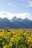 Guling blommar på den storslagna Teton nationalparken, USA Arkivbild
