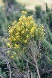 Guling blommar på en buske arkivfoton