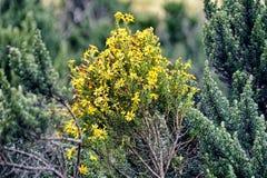 Guling blommar på en buske arkivbilder