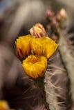 Guling blommar på en kusttrummakaktus, Ferocactusviridescens Royaltyfria Foton