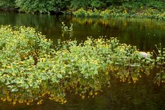 Guling blommar på en skogflod Royaltyfri Fotografi