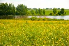 Guling blommar på flodbanken Royaltyfri Bild