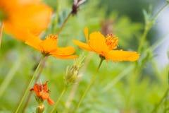 Guling blommar på gräs Royaltyfri Fotografi