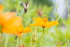 Guling blommar på gräs Royaltyfria Bilder