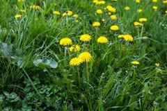 Guling blommar på grönt gräs Royaltyfri Fotografi