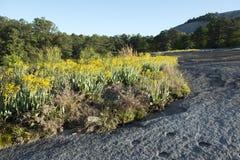 Guling blommar på granitutlöpare Arkivfoton