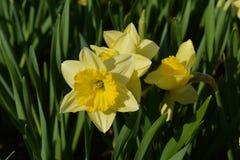 Guling blommar på rabatten Arkivfoto