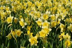 Guling blommar på rabatten Royaltyfria Bilder