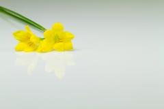 Guling blommar på vit bakgrund Arkivbild