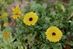 """Guling blommar Tidytips†för Layiagaillardioides""""Woodland  Fotografering för Bildbyråer"""