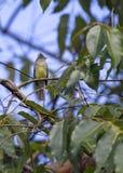 Guling-buktad Elaenia Elaenia flavogaster royaltyfria foton