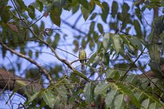 Guling-buktad Elaenia Elaenia flavogaster royaltyfri foto