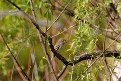 Guling-buktad flugsnappare i ett träd Royaltyfria Foton