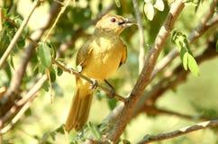 Sydliga afrikanska fåglar Royaltyfri Foto