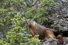 Guling buktad marmot Fotografering för Bildbyråer