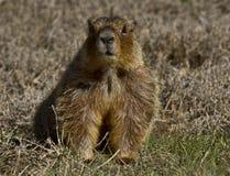 Guling buktade Marmott Royaltyfri Foto