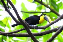 Guling-färgad tukan i Ecuador Arkivbild
