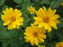 Guling för Cutleaf coneflower (rudbeckia) blommar Arkivfoton