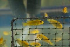Guling för kolibri för akvariumfiskCichlid (Labidochrom är caerul Fotografering för Bildbyråer