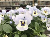 Guling för lavendel för blommor för pensécloseupvår Royaltyfri Fotografi