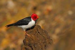 Guling-fakturerad kardinal, Paroaria capitata, svartvit sångfågel med det röda huvudet som sitter på trädstammen, i naturvanan Royaltyfri Fotografi
