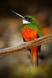 Guling-fakturerad kardinal, Paroaria capitata, svartvit sångfågel med det röda huvudet som sitter på trädstammen, i naturvanan Arkivfoton