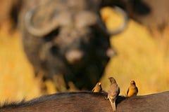 Guling-fakturerad oxpecker, Buphagus africanus, i brun päls av den stora buffeln Fågeluppförande i savannahen, Kruger nationalpar fotografering för bildbyråer